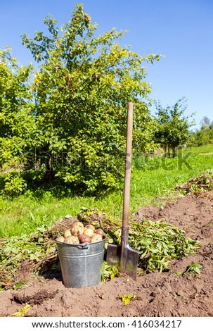 Freshly dug potatoes in metal bucket and shovel on the field - stock photo