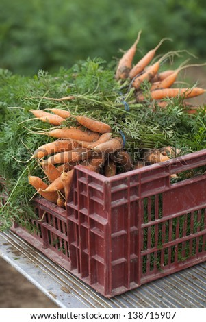 freshly hand-picked carrots for organic market - stock photo
