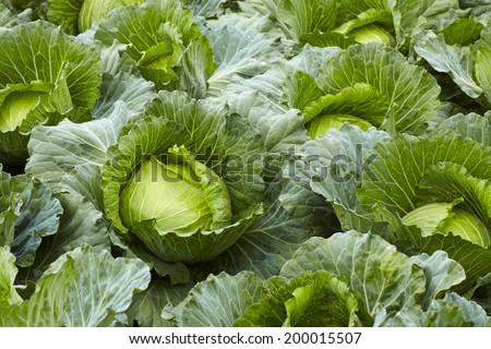 Freshly harvested cabbage - stock photo