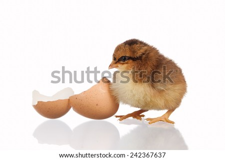 Freshly hatched chick with an empty shell - stock photo
