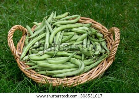 Freshly picked basket of green beans - stock photo
