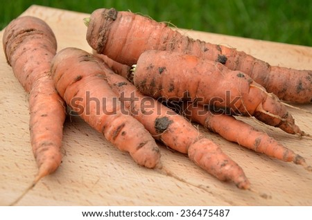 freshly picked carrots on a wooden chopping board in the garden - stock photo