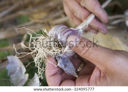 Freshly Picked Garlic - stock photo