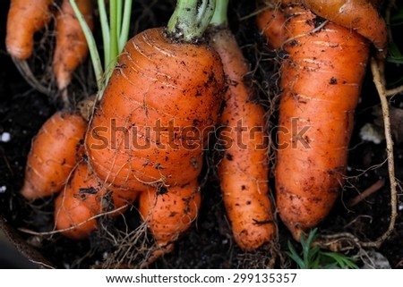 Freshly pulled carrots - stock photo