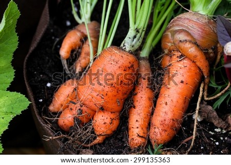Freshly pulled carrots from soil - stock photo