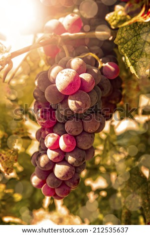 Freshly riped grapes in autumn with lens flare - stock photo