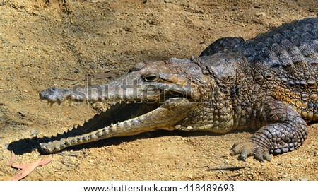Freshwater crocodile face rest on a river bank with is jaws open in Queensland Australia - stock photo