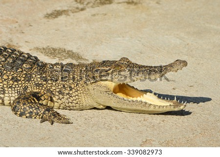Freshwater crocodile or alligator or crocodile swamp, freshwater species are native to Thailand in Vietnam, Cambodia, Laos,  Kalimantan, Java and Sumatra is quite a big way medium sized crocodile. - stock photo