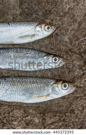 Freshwater fish just taken from the water. Close up view of the three bleak fish on natural background.  - stock photo
