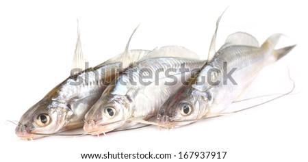 Freshwater Tengra fish of Bangladesh over white background - stock photo