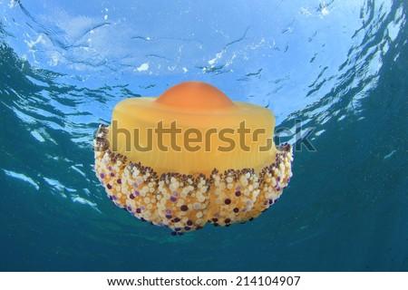 Fried Egg Jellyfish - stock photo