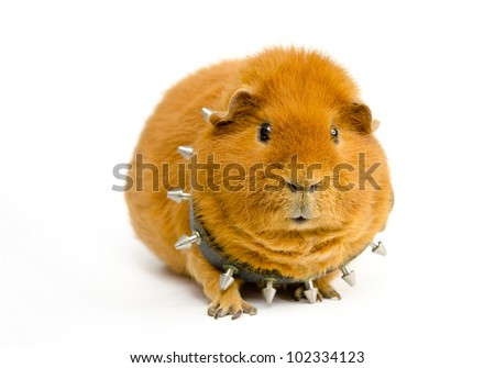 friendly Bosspig - stock photo