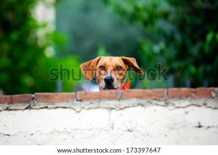 friendly dog behind the brick wall - stock photo