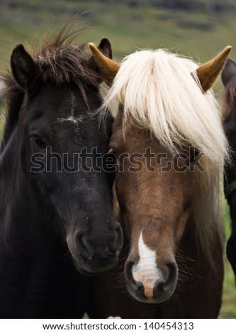 Friendly icelandic horses, Iceland 2011 - stock photo
