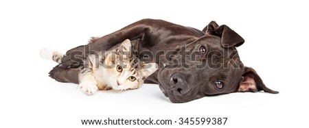 Friendly Pit Bull mixed breed dog laying and snuggling with a little kitten  - stock photo