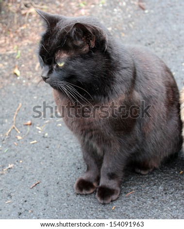 Friendly purring  black Bombay male cat sitting  on the  driveway on a cloudy rainy day in early spring. - stock photo