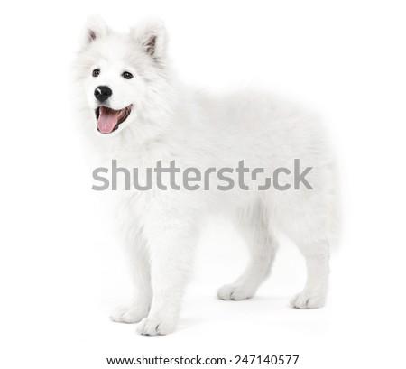 Friendly Samoyed dog isolated on white - stock photo