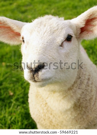 Friendly Spring Lamb - stock photo