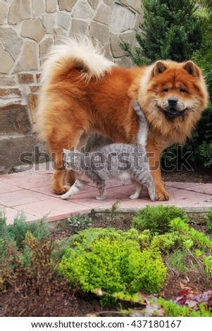 friendship between dog chow-chow and british cat - stock photo