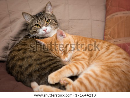 Friendship of the two striped cats, orange and grey - stock photo