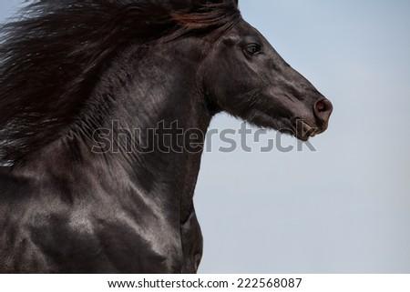 friesian black horse portrait on sky background. head isolated - stock photo