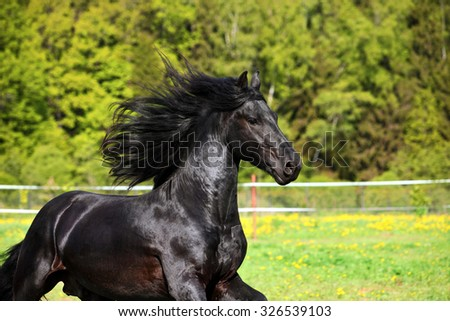 Friesian black horse with long mane in autumn background  - stock photo