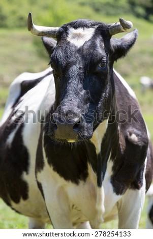 Friesian cows grazing in a green green meadows - stock photo