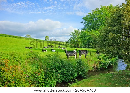 Friesian cows grazing peacefully in a meadow near a stream of water, on a beautiful summers day, St Cleer, Cornwall, United Kingdom - stock photo