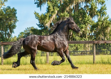 Friesian / Frisian horse outside trotting running moving in a field paddock meadow pasture looking regal majestic powerful solid graceful unearthly wild - stock photo
