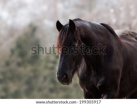 friesian horse stallion - stock photo