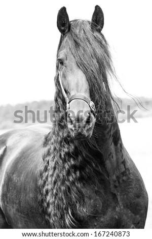 Friesian stallion - stock photo