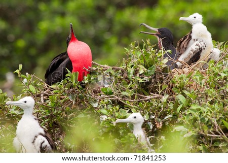 FRIGATE BIRD FAMILY WITH PREDOMINANT MALE EXPRESSING HIS AUTHORITY  - stock photo