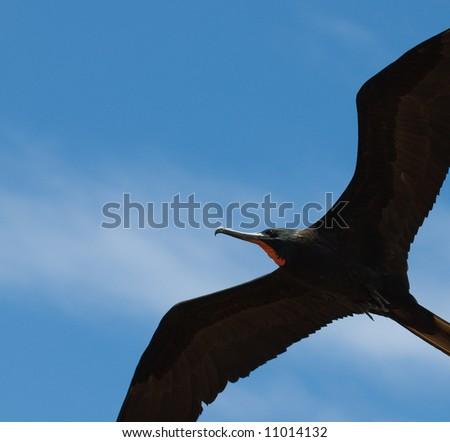 frigate, flying in blue sky - stock photo