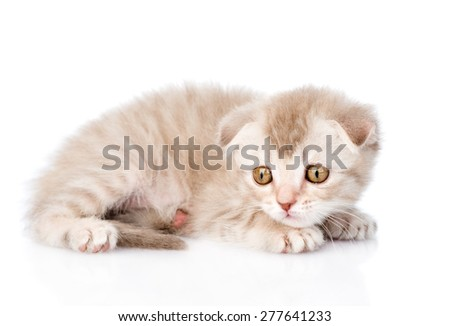frightened kitten. isolated on white background - stock photo