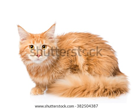 Frightened  maine coon cat. isolated on white background - stock photo