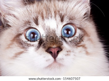 frightened young blue-eyed cat close up.Neva Masquerade cat - stock photo