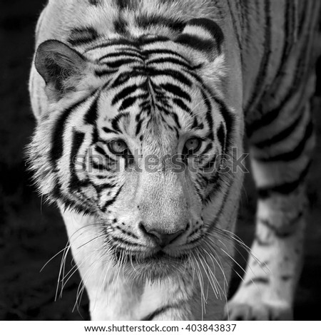 Frightening look of an amazing white bengal tiger, wonderful animal. Wild beauty of the most dangerous beast of the world. Face portrait of the biggest cat, isolated on black background.  - stock photo
