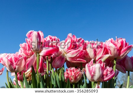 Frilly pink and white tulip flowers in various stages of growth with blue sky background. - stock photo
