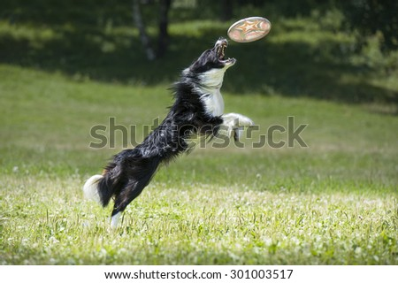Frisbee dog with flying disk - stock photo