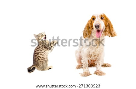 Frisky kitten Scottish Straight and funny dog breed Russian Spaniel sitting together isolated on white background - stock photo