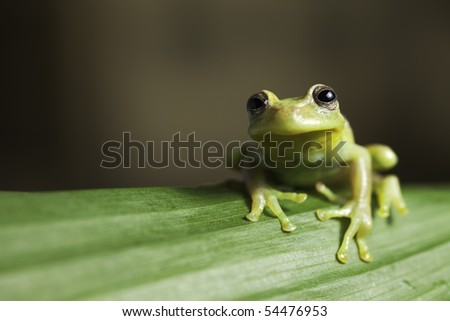 frog amphibian treefrog rainforest branch tropical amazon jungle species background with copy space - stock photo