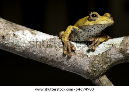 frog amphibian treefrog rainforest branch tropical jungle tree frog with beautiful eye a night animal on black background lives amazon rain forest a threatened species in need for nature conservation - stock photo