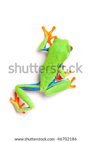 frog from above crawling close up isolated on white background - red-eyed tree frog (Agalychnis callidryas) - stock photo