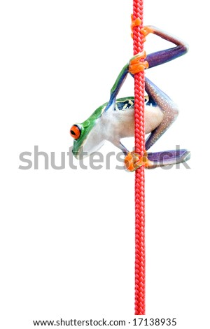 frog hanging to a rope closeup isolated on white - red-eyed tree frog (Agalychnis callidryas) - stock photo