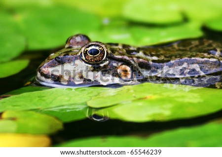 frog in a pond - stock photo