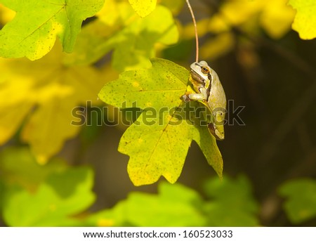Frog in autumn leaves - stock photo