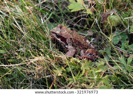 frog in the grass close-up - stock photo