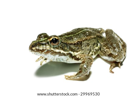 Frog, isolated on a white background - stock photo