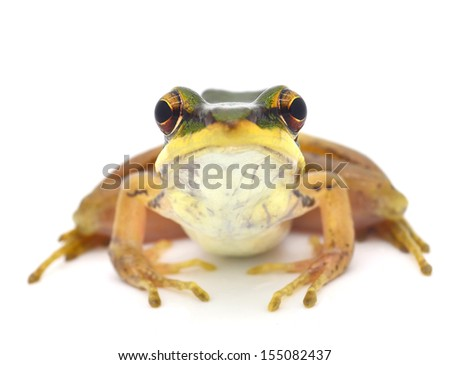 Frog isolated on white Backdrop - stock photo