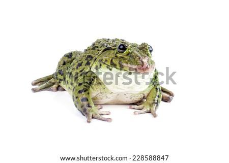Frog isolated on white background. - stock photo